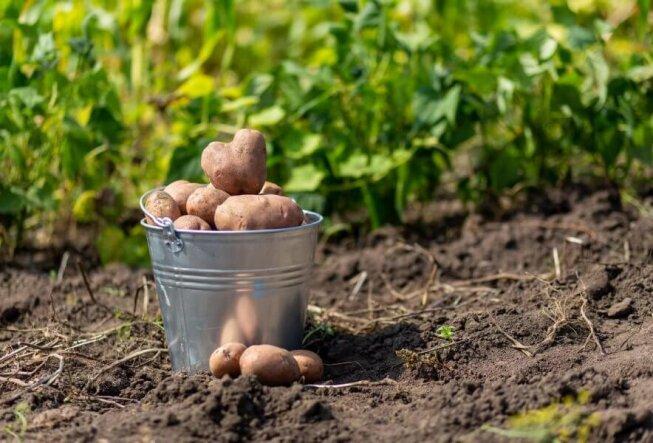 Уборка картофеля мототрактором: тонкости и секреты сбора урожая